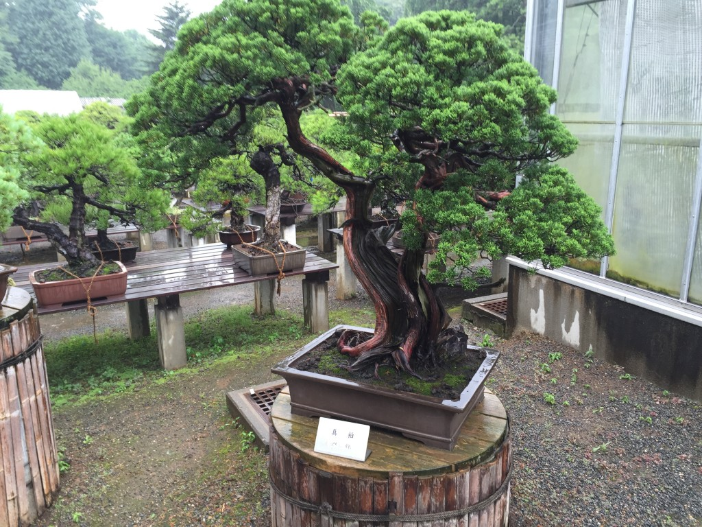 Bonsai trees at the Ohmichi Garden at the Imperial Palace
