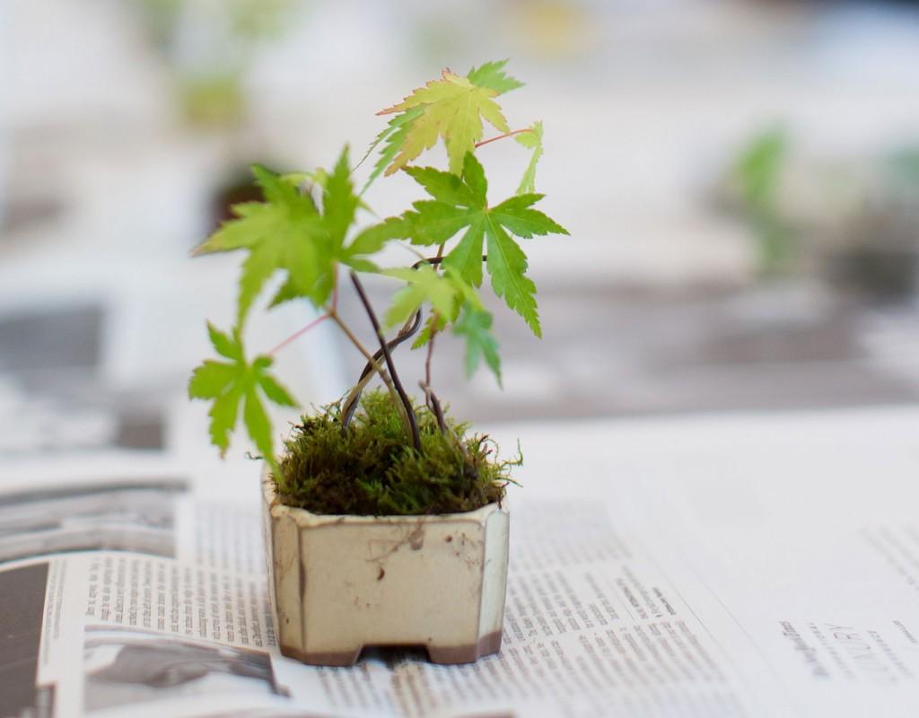 盆栽教室でケネディ大使が作った紅葉の盆栽