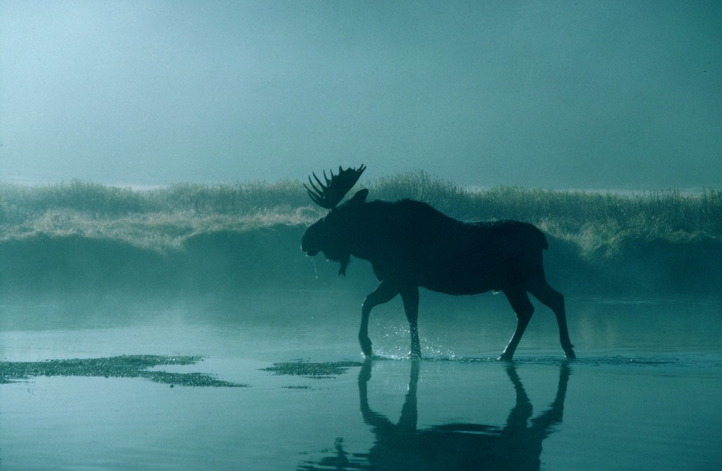 イエローストーンは野生動物の宝庫。早朝の川の中を歩くムース (©Osamu Hoshino)
