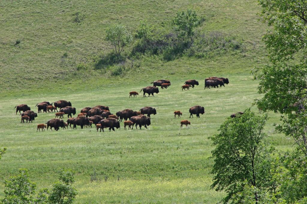 カスター州立公園には約1500頭のバッファローが生息する (©Osamu Hoshino)