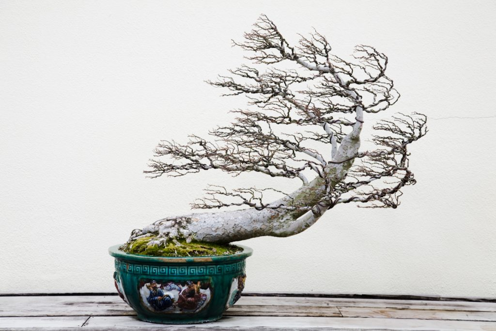A bonsai tree at the National Arboretum. (© Benjamin C. Tankersley/Washington Post via Getty Images)