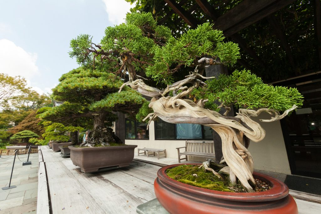 At the right is a Sargent Juniper, from the Japanese collection. This bonsai has been in training since 1905. (U.S. National Arboretum/Stephen Ausmus)