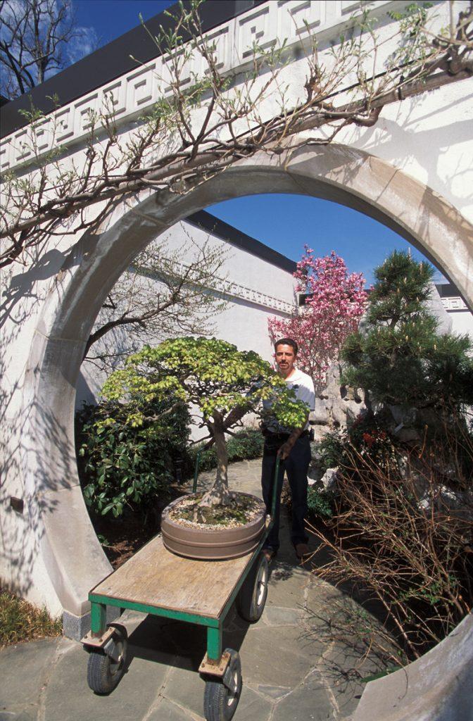 樹齢100年のトウカエデを日本展示館に移すジャック・サスティック学芸員 (U.S. National Arboretum/Stephen Ausmus)