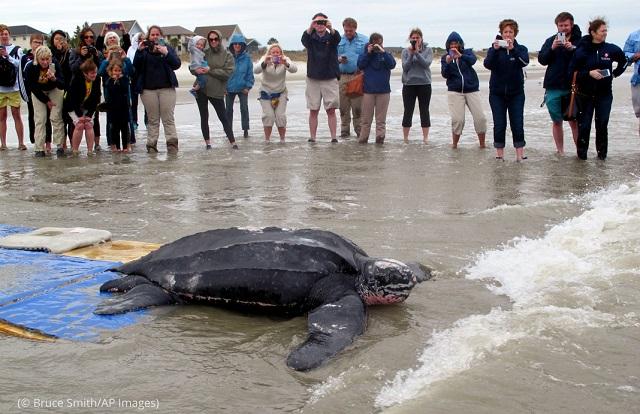 サウスカロライナ州。獣医師による治療を受けて海に戻るオサガメ。体重は重いもので680キロになる (© Bruce Smith/AP Images)