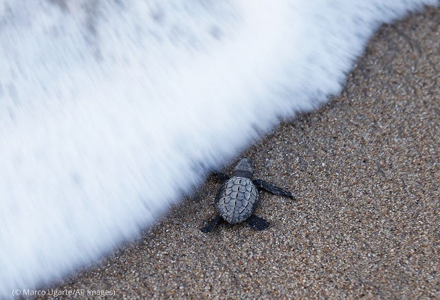 An olive ridley sea turtle hatchling crawls toward the sea in Sayulita, Mexico. (© Marco Ugarte/AP Images)