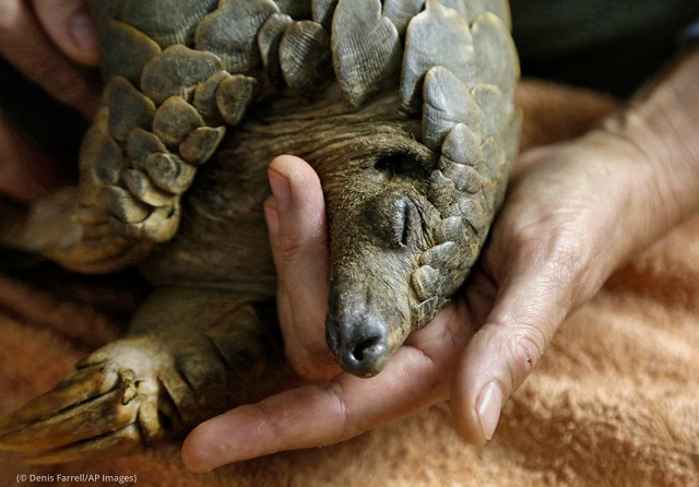After being rescued from poachers, a pangolin recovers at the Johannesburg Wildlife Veterinary Hospital. (© Denis Farrell/AP Images)