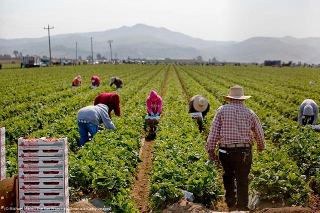 イチゴ農園で働くサリナス地区の農業従事者 (© Michael Macor/The San Francisco Chronicle/Getty Images)